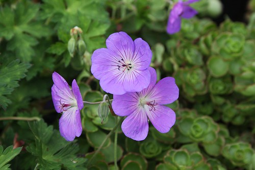 Geranium X 'Rozanne' | by Hickory Hollow Nursery and Garden Center