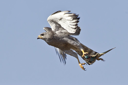 gray hawk black dating site Adult a medium-sized hawk with short, rounded wings and a fairly long black-and-white banded tail adults are pale gray below with a finely barred chest.