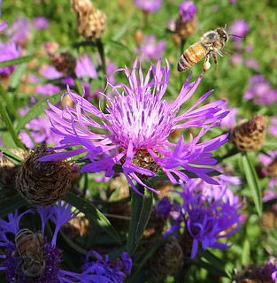 Honeybees on Spotted Knapweed | by Krittergirl