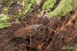 Assassin bug (Reduviidae) - DSC_0150