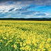 Oilseed Rape Under Threatening Skies