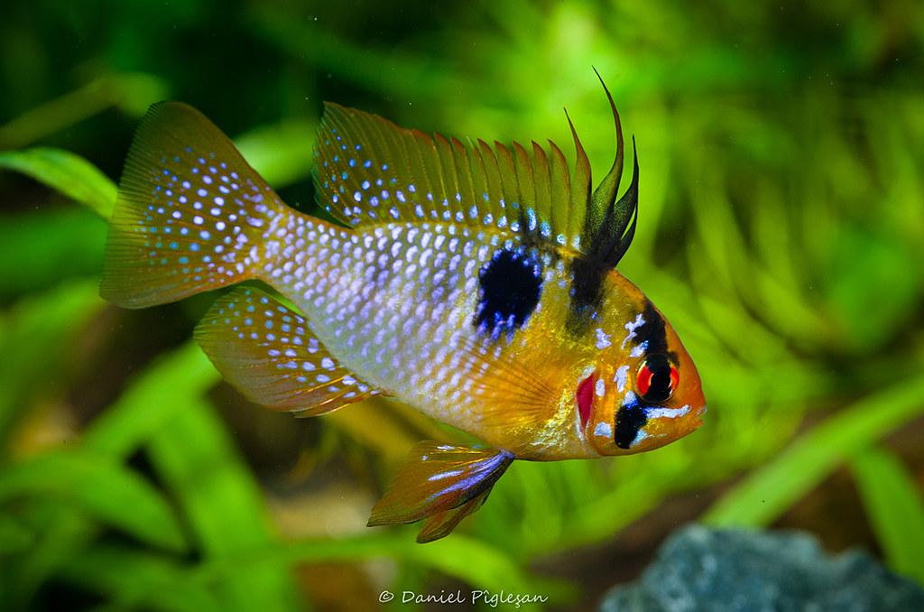 Microgeophagus Ramirezi Male Daniel Piglesan Flickr