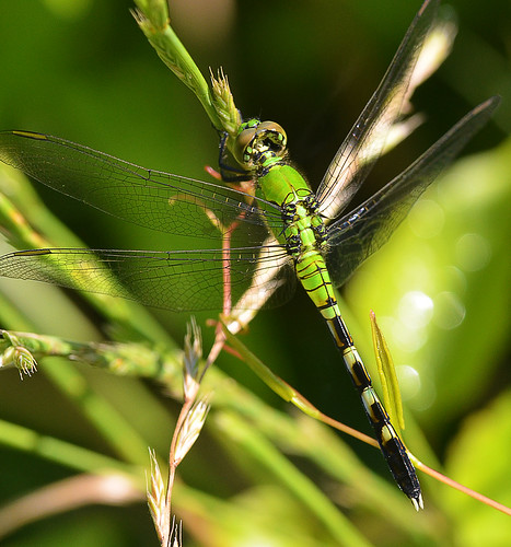 Eastern Pondhawk Female | by jwinfred
