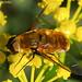 Bombilídeo // Bee Fly (Villa sp.)