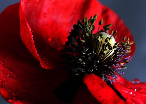Poppy | by Clare Havill