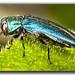 Jewel Beetle (Agrilus cyanescens)