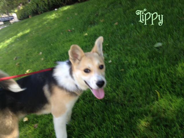 Tippy Sheltie Shepherd Husky Mix Female Puppy Avail