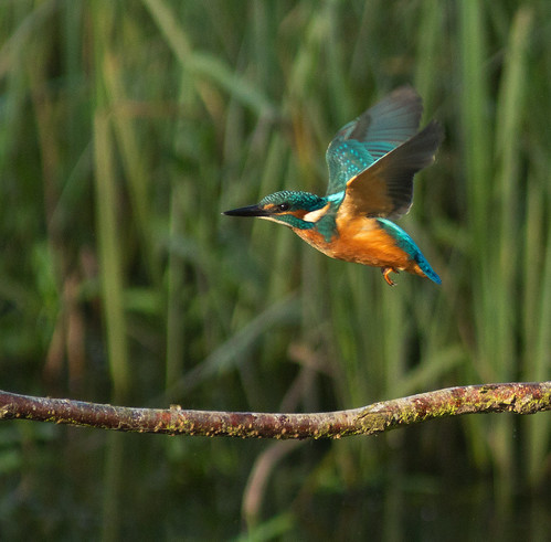 Kingfisher | by Ohsobjork