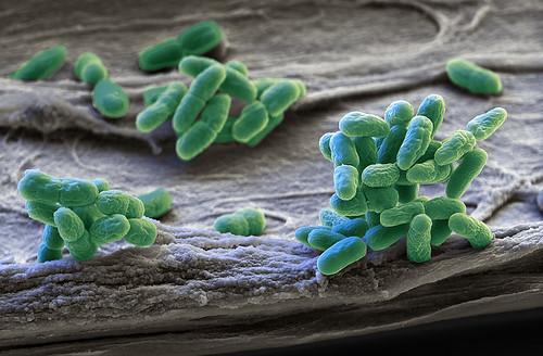 Blue Green Algae Of Genus Synechocystis Microorganisms