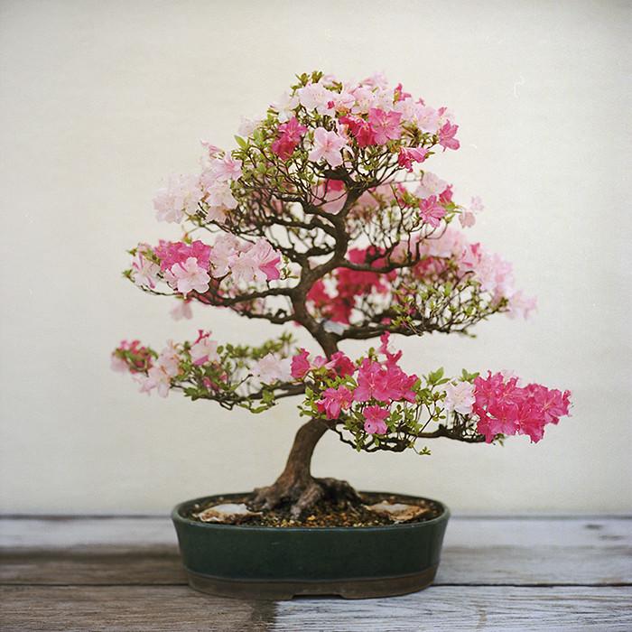 cherry bonsai flickr. Black Bedroom Furniture Sets. Home Design Ideas