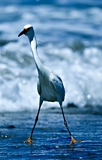 Snowy Egret | by lightstagephotography