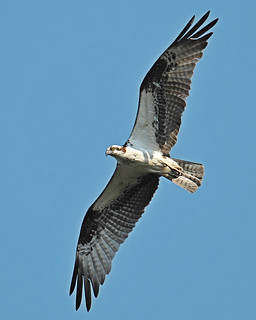 Osprey On The hunt | by © Craig Leaper
