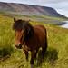 Horse in Seydisfjord - Hestur í Seyðisfirði