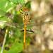 Libélula // Common Darter (Sympetrum striolatum), immature male