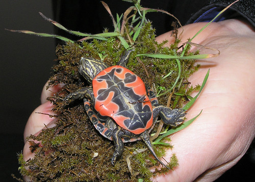 W painted turtle hatchling undersides vandeburg odfw flickr for Oregon department of fish and wildlife jobs