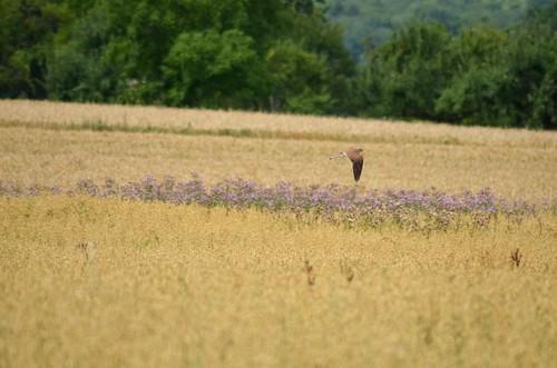 0221 Greifvogel über Konfeld