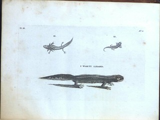 Warty Lizard | by Library & Archives @ Royal Ontario Museum
