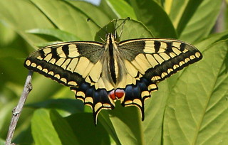 Machaon | by rene odeide