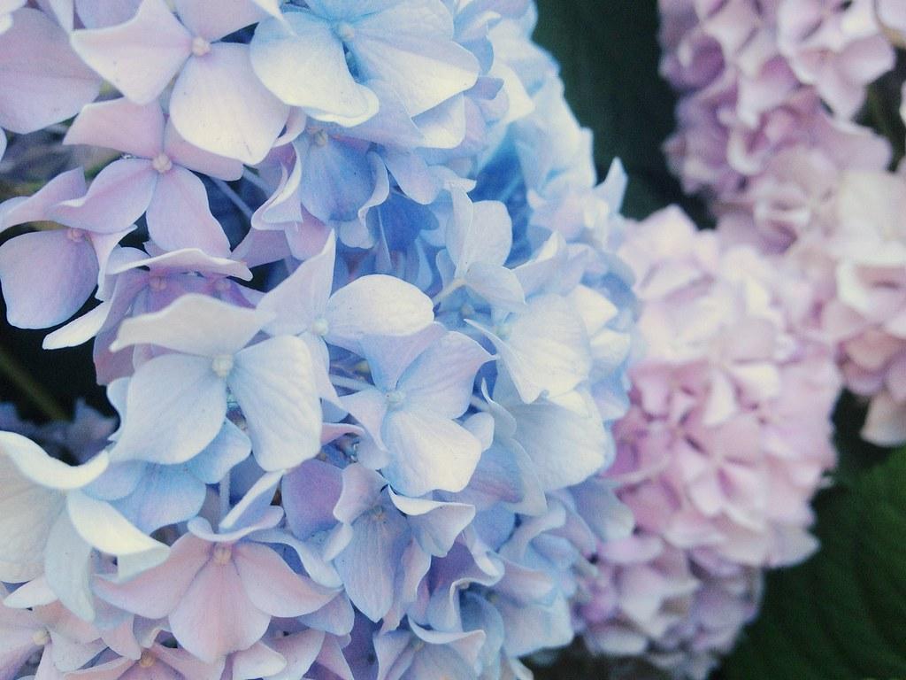 紫陽花 Luuuv Taken With My Iphone Naotakyu Flickr