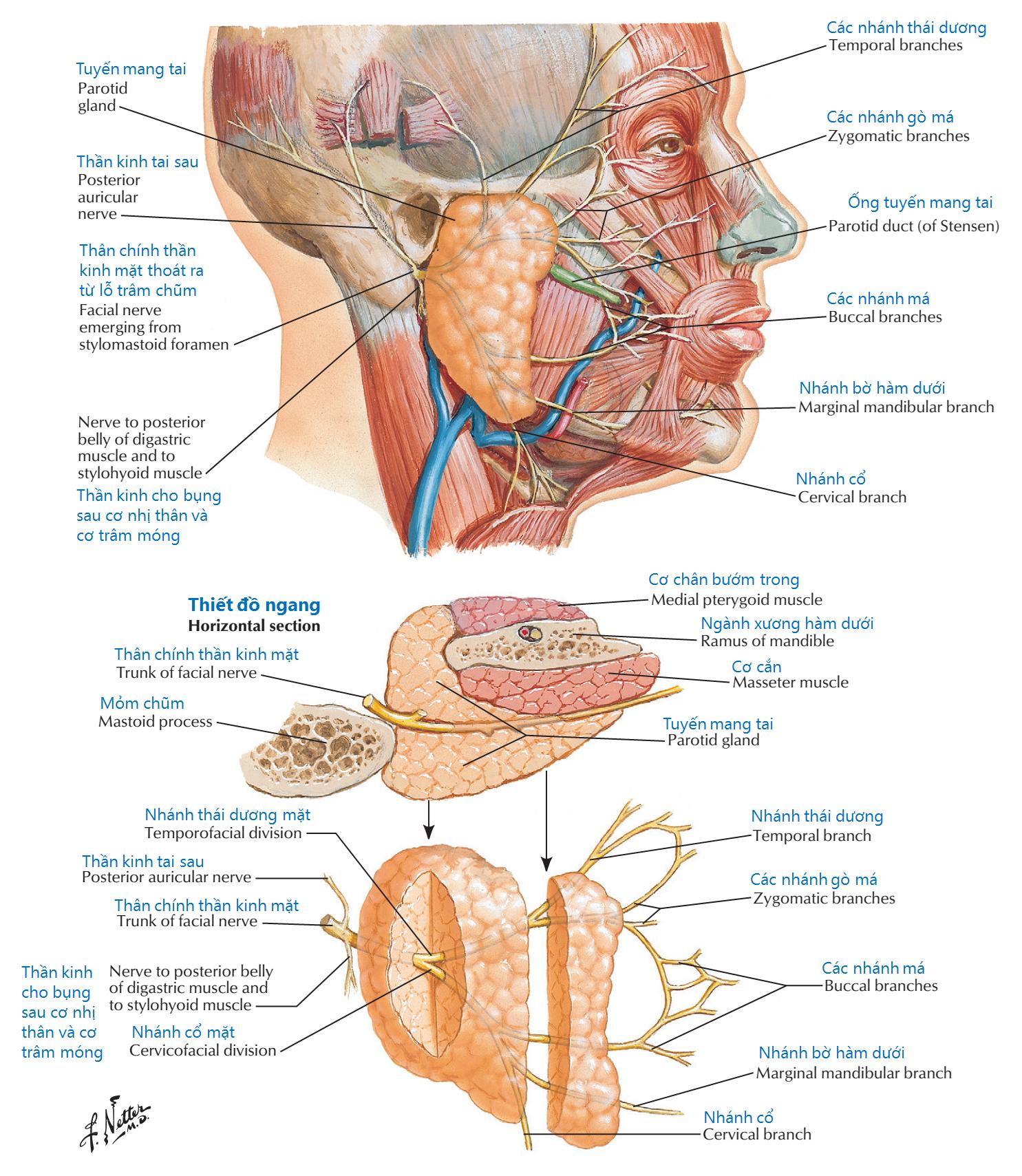 Các nhánh thần kinh mặt và tuyến mang tai