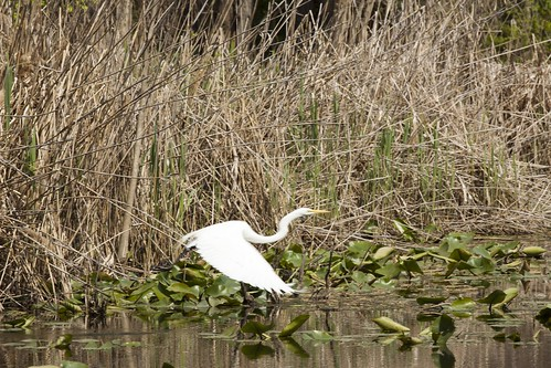 Great Egret at Van Cortland Park | by FreeVerse Photography