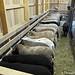 5-11-12 Friday Farm Fix #9 (1) lambs in the creep feeder