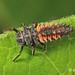 Beetle - Ladybug, Multicolored Asian Harmonia axyridis larva