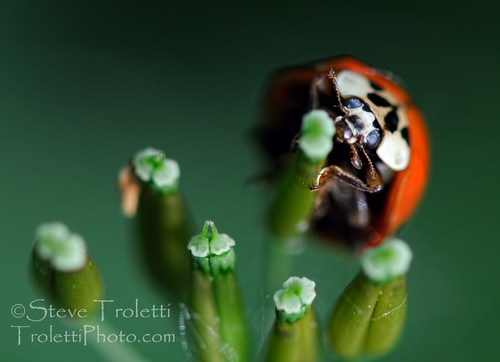 Coccinellidae - Ladybug / coccinellidés - Coccinelle | by Steve Troletti™ Nature & Wildlife Photographer