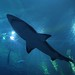 Overhead Shark