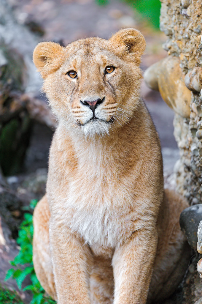 Sitting Pretty Young Lioness Last Picture For Now This