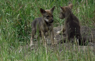 Red Wolf pups | by ccgoldendreamer