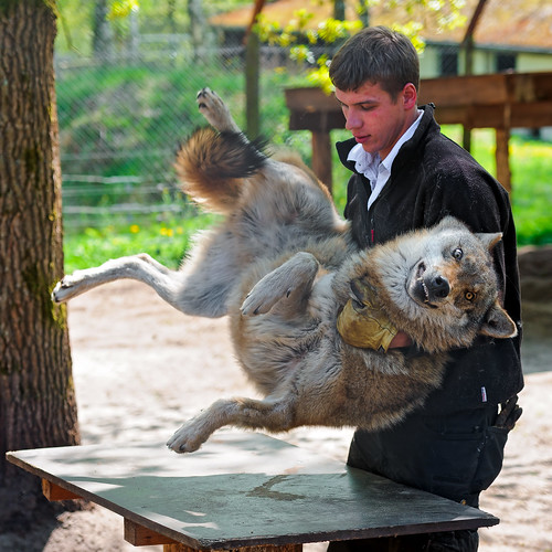 Wolf lifted by his trainer | by Tambako the Jaguar