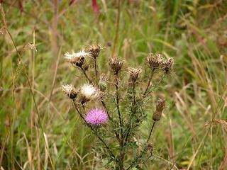 8887 Bull Thistles | by lcm1863