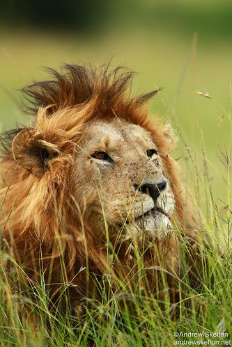 African Lion | by http://andrewskelton.net