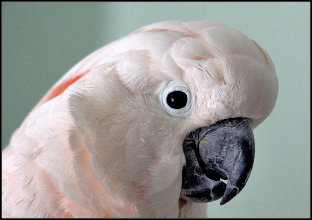 moluccan cockatoo the moluccan cockatoo cacatua