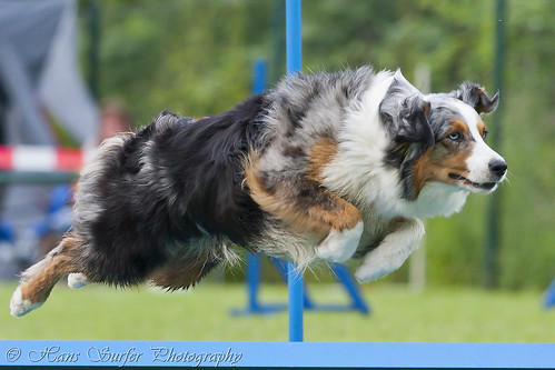 Flying Australian Shepherd | by Hans Surfer (where the action is)
