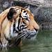 Malayan Tiger, Malacca Zoo, Malaysia
