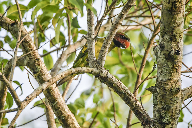 The long tailed parakeet