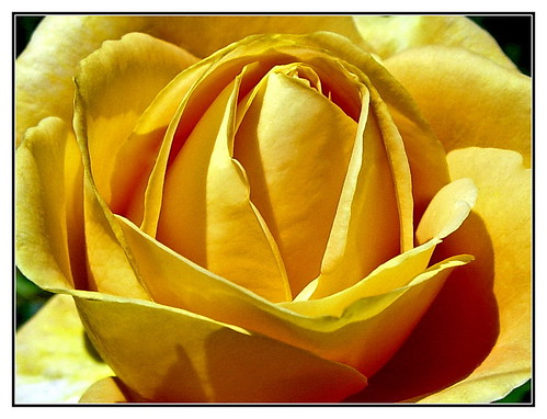 26-Rose du matin | by gio.dino3