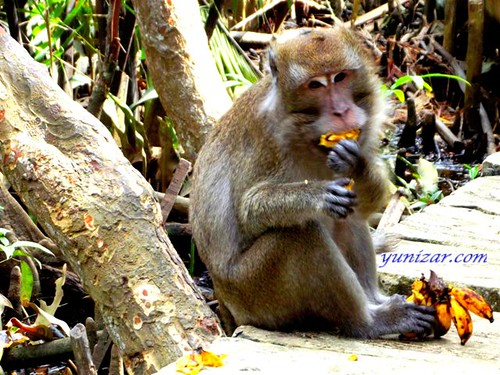Monkey From South Borneo | by yunizar2011
