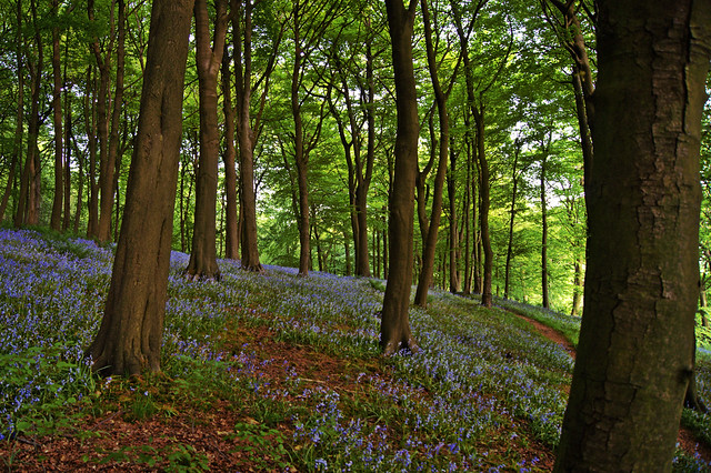 Bluebells in the woods.