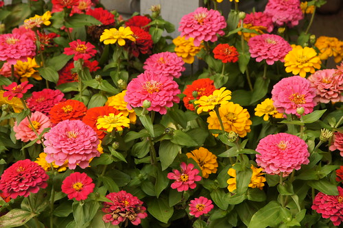 Rainbow of Zinnias | by Angela M. Miller (on a long, long break)