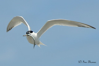 Flying Fish Carrying A Sandwich Tern ..... | by TopSausageLobber