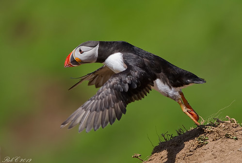 Puffin | by robcimages.co.uk