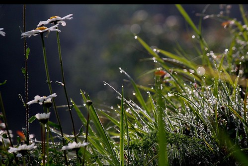In Morning The Dew Having Tears | by manwar2010