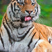 Lucky the tiger with curled tongue