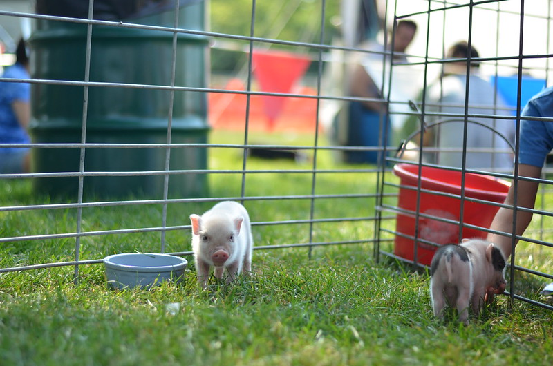 Petting Zoo Pigs