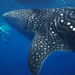 Grand Turk Whale Shark