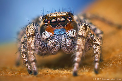 Male Habronattus sp. - Arizona | by Thomas Shahan