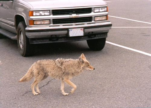 Urban coyote nwwd odfw while urbanization has encroached for Oregon department of fish and wildlife jobs
